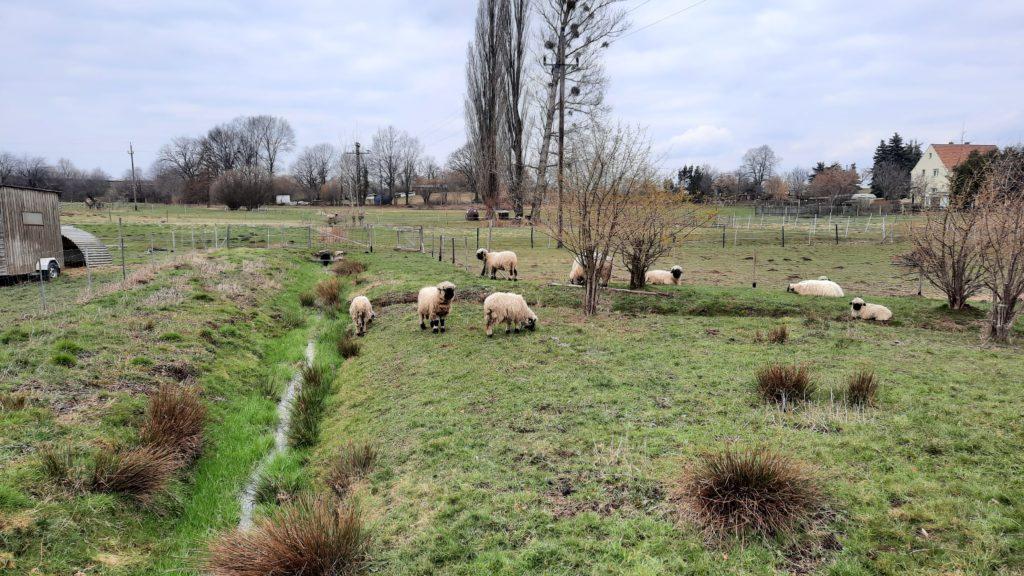 Süsse Schafe